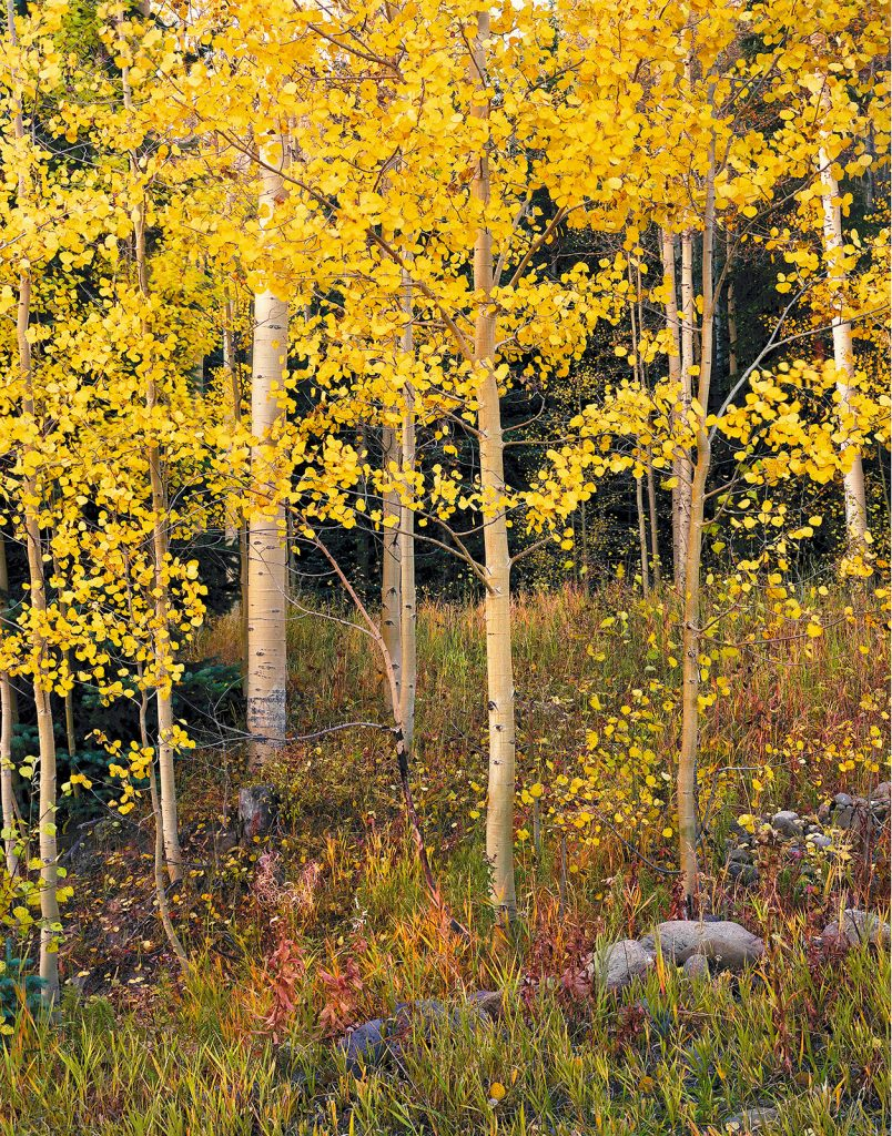 Conejos Aspens in the Conejos valley of Colorado.  In the pandemic, polluting industries are winning and places like this are losing.