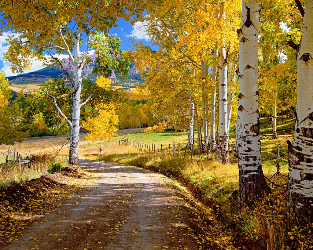 Aspens and Road near Dallas Divide, Colorado. The fact that the Covid-19 pandemic is getting scarier and scarier seems almost incompatible with the remaining beauty of the natural world.