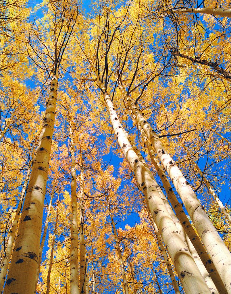 Aspens looking up near Telluride Colorado. De-Forestation is Soaring in Brazil but luckily there are still a few places where nature is not in nearly so bad a place, yet.