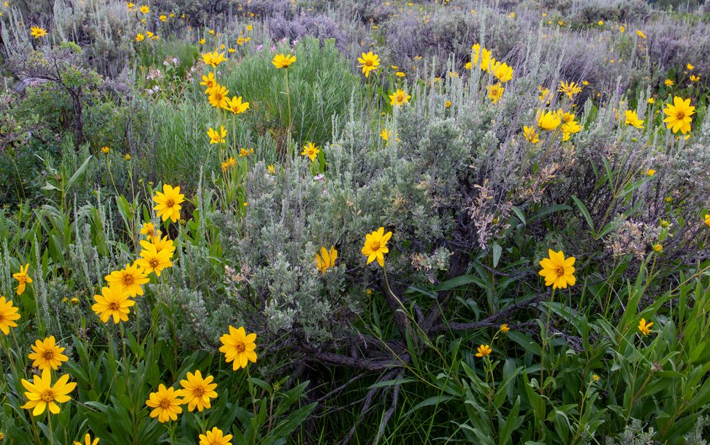 Wild flowers and sage in Jackson Hole, Wyoming.  The fact that the Covid-19 pandemic is getting scarier and scarier seems almost incompatible with the remaining beauty of the natural world.