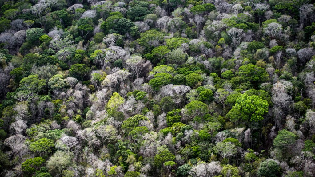 Many dead trees are visible in the canopy of the Amazon rainforest, 60 miles southwest of Macapa, Brazil. DANIEL BELTRÁ : GREENPEACE