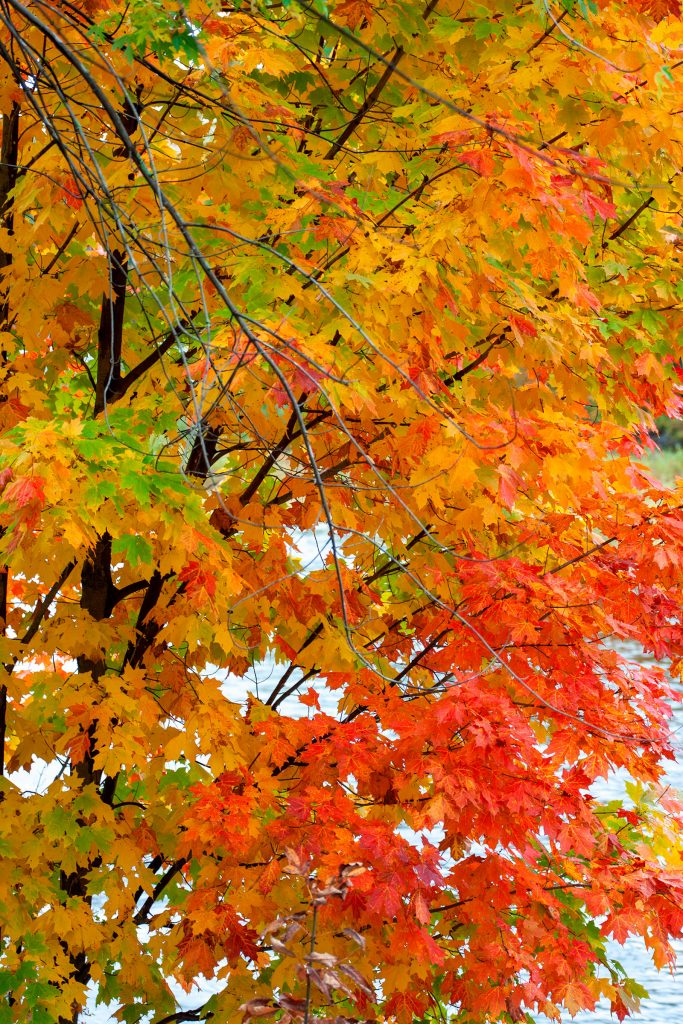 Maple leaves in Maine.  How does history happen?  We can choose our our history and save places like this if we try hard enough.