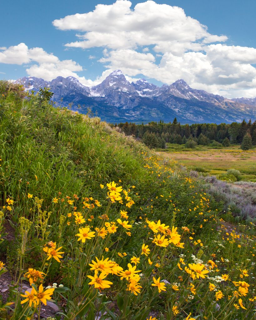 Wildflowers and  the Tetons