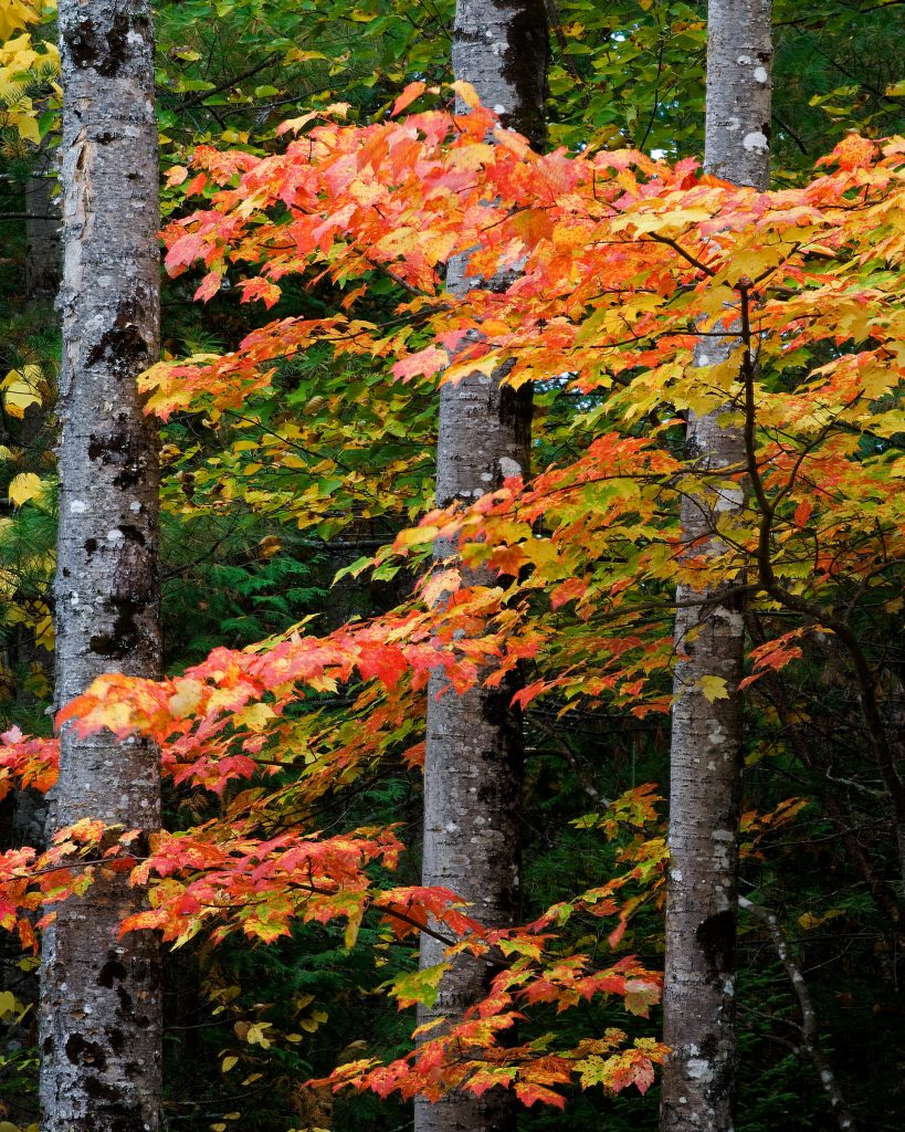 Birch and Maple in Northern Maine