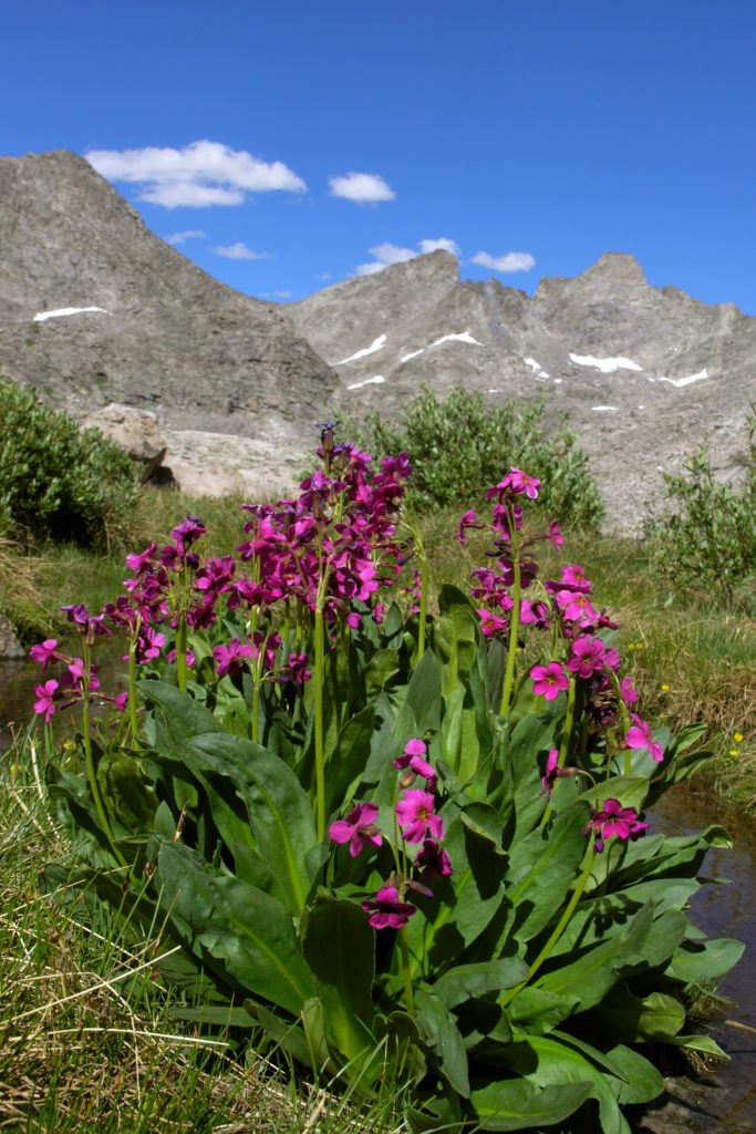 Perry Primrose near the upper Bonnyville lakes high in the Wind River Mountains of Wyoming.  CO2 is at record high despite everything.  If this continues,  places like this will soon be gone.