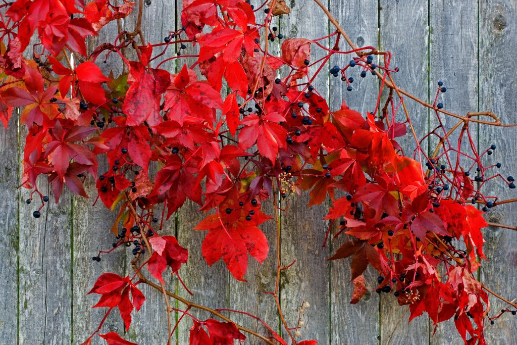 Red leaves on a shack in Stonington Maine