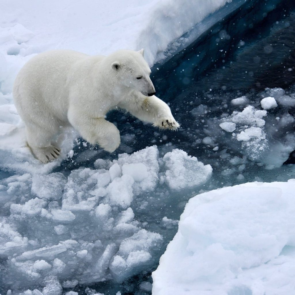 Polar bear on an arctic ice flow.  As the arctic warms polar bears are going extinct.  Warming has complex consequences that are often not obvious.