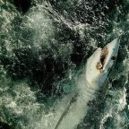 Sharks have declined by 71% since 1970